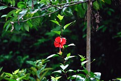 fleurs et plantes du Costa-Rica / flowers and plants in Costa Rica (pontfire) Tags: voyage road trip travel pink flowers trees red plants house plant flower color tree nature water fleur rain rio rose forest fleurs montagne plante river landscape rouge agua américa rainforest costarica aqua eau tour village natural blossom traverse rivière blow bloom blossoming paysage cascade arbre moutain tropics couleur touring locomotion excursion plantes flourish fleuve openup centroamérica fôret amérique efflorescence multicolore tripical peregrinations fulcolor centraleamerica pontfire comeintobloom comeintobloomblossom openfleurirflower