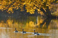 On the Yellow Brick Road (NaturalLight) Tags: autumn canada reflections gold geese kansas wichita chisholmcreekpark