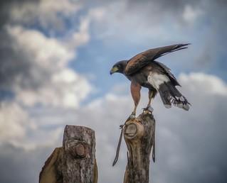 Hawk ll ...