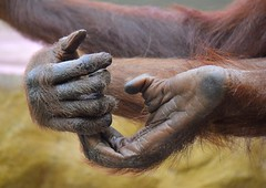 Orang-Utan-Hnde (superscheeli) Tags: zoo dresden hand finger orang utan hnde affe halten tasten greifen