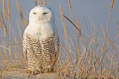 Just Another Snowy Owl (LBI, NJ) (Mitch Vanbeekum Photography) Tags: statepark bird beach island newjersey long wildlife nj lbi owl barnegatlighthouse snowyowl buboscandiacus barnegatlightnj canon5dmkiii canonef500mmf4is canon14teleconvertermkiii