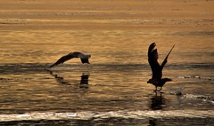 Learning to fly (ccgd) Tags: sunset sea birds scotland highlands seagull wave cromarty