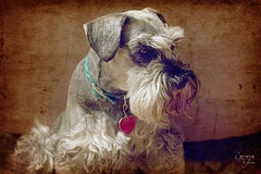 342:365 Our Family - the Shortened Version (gloworm09) Tags: family dog schnauzer jackson odc