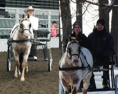 Trail Riding/Pleasure Driving Gelding