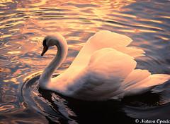 Dreamy (_Natasa_) Tags: uk sunset england white lake reflection water canon swan derby whiteswan canonef50mmf18ii alvastonpark mygearandme canoneos600d natasaopacic natasaopacicphotography infinitexposure