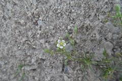 Spergula fallax ( Lowe) E.H.L Krause,  (cpmkutty) Tags:  caryophyllaceaespergulafallaxqatarannualherbwhite