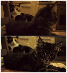 Brother and sister (Silvia_S90) Tags: cats cat main coon gatti