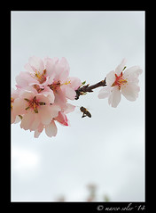 Una volando ( Marco Antonio Soler ) Tags: espaa macro spain flora nikon 14 flor flight almond iso alicante micro una jpg abeja hdr almendro volando 2014 alacant jijona xixona d80 blinkagain