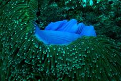 apo- coconut point- blue anemone (q.phia) Tags: blue point coconut apo anemone siren philippine tubbataha