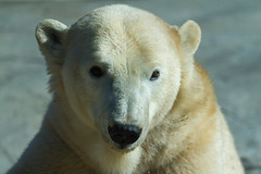 _MG_3723 (orca_bc) Tags: bear blackandwhite arctic polarbear ursusmaritimus