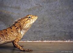 kazz (eneron9) Tags: india nature photography wildlife indoor chameleon fujifilmfinepixs4800