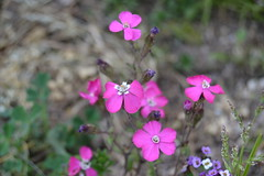 Clavellinas (esta_ahi) Tags: barcelona pink espaa flores spain flora flor jardn jardinera peneds caryophyllaceae clavellina castelletilagornal  torrelletes cultivadas