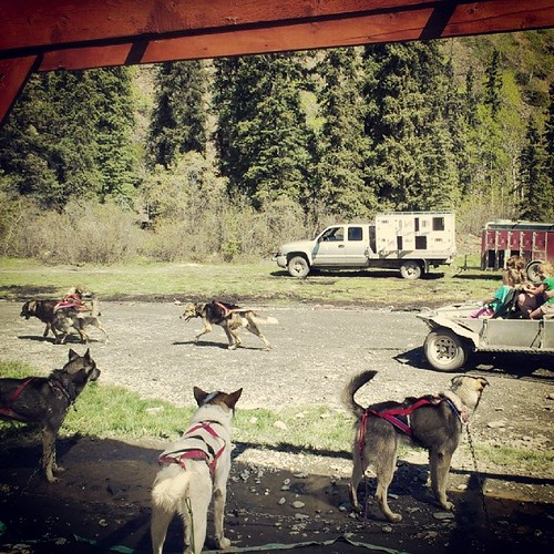 Alaskan Husky teams pull carts for exercise once snow is gone #yukon #cariboucrossing