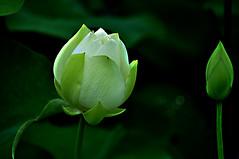 DSC_0007 White Lotus (tsuping.liu) Tags: nature lotus