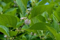 Callicarpa americana (Eric Hunt.) Tags: pink flower pale shrub americanbeautyberry callicarpaamericana beautyberry callicarpa lamiaceae floweringshrub