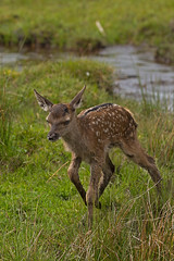 Red Deer Fawn (JaneTurner68) Tags: animal scotland reddeer scottishhighlands reddeerfawn