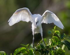 20150803-_74P0657.jpg (Lake Worth) Tags: bird nature birds animal animals canon wings florida wildlife feathers wetlands everglades waterbirds southflorida 2xextender sigma120300f28dgoshsmsports