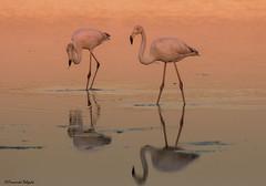 Flamingo (Phoenicopterus roseus) (Fernando Delgado) Tags: flamingo phoenicopterusroseus aves waterbirds water reflexos reflexion riaformosa parquenaturaldariaformosa sunset pôrdosol birds light