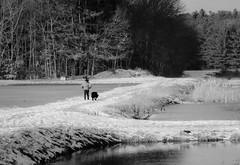 Walker (ashokboghani) Tags: blackandwhite monochrome cranberrybog carlisle massachusetts newengland dogwalker