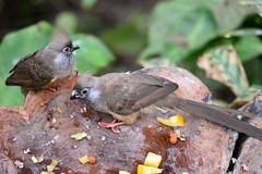 Speckled Mousebirds (Bri_J) Tags: tropicalbutterflyhouse northanston sheffield southyorkshire uk butterflyhouse yorkshire nikon d7200 bird speckledmousebird coliusstriatus