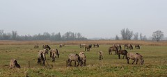 Herd of wild Konik horses. (♥ Corry ♥) Tags: horses konikhorses nature landscape tree netherlands animals herd