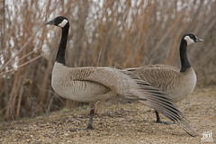 Canadian Goose wing pose 2017 (TheArtOfPhotographyByLouisRuth) Tags: canadiangoosegooseposturegoosewingtwogeeselargebirdswildlifefeathersanimals goose geese canadiangoose bird outdoor wildlife supremeimages artofimages waterfowl theworldofbirds animal birdsasart animales threecsclaritycolorcomposition critters groupwi†hҽxperience fantasticcapture galaxyaward boise boiseidahogeese