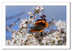 Red Admiral Butterfly on Blackthorn (Travels with a dog and a Camera :)) Tags: lightroom cc spring england flowers blossom blackthorn red admiral photoshop justpentax redfield netham park 2017 pentax march butterfly digital bristol k5 vanessa atlanta art south west 18200mm uk blue sky bluesky dogwalking lightroomcc nethampark pentaxart pentaxk5 photoshopcc2015 redadmiral southwest vanessaatlanta