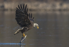 Bald Eagle (nikunj.m.patel) Tags: baldeagle fish fishing nature wildlife photography nikon conowingo maryland migration eagle birds avian outdoor