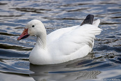 Photo of Ross's Goose