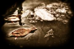 swim in the icewater (camerito) Tags: swimming schwimmen enten ducks wörthersee icewater eiswasser cold kalt drake erpel feathering gefieder camerito nikon1 j4 flickr austria österreich kärnten carinthia 1nikkor185mmf18 unlimitedphotos