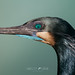 Brandt's Cormorant (Phalacrocorax penicillatus)
