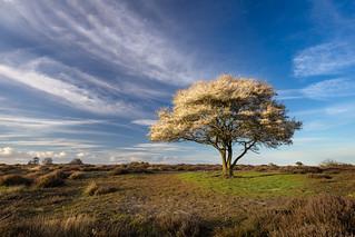 Suffolk Blossom