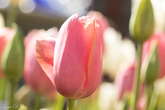 Color and light for a rainy day (Irina1010) Tags: flowers spring tulips pastels pink macro bokeh atlantabotanicalgarden ngc npc