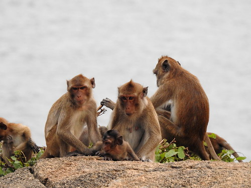 Wild Long-Tailed Macaque´s On Monkey Mountain Outside Hua Hin - Thailand