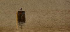 Buoyant (_J @BRX) Tags: blackheadedgull chroicocephalusridibundus seagull gull reservoir redbrookreservoir marsden huddersfield yorkshire england uk spring april 2017 dawn buoy reflection