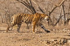 1537 Day 8 Tigers (brads-photography) Tags: india male nationalpark pantheratigristigris rajasthan ranthambore royalbengaltiger sawaimadhopur starmale t28 tiger tigerreserve wildlife