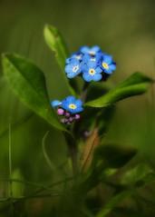 Vergissmeinnicht (patrickmai875) Tags: vergissmeinnnicht blue blau green grün bokeh wow plant pflanze nature natur canon 5d mark iv 100mm f28