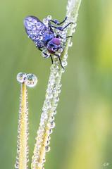 Mouche à la rosée matinale (2). (gille33) Tags: gillesremus nature macro insecte insect insectes mouche muscidae goutte drop drops droplet waterdrop waterdrops bokeh nikond810 sigma150