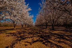 Backroads Colusa County (cetch1) Tags: californiaspring landscape almondtrees sacramentovalley almondblossoms sacramentowildliferefuge californiabackroads california californialandscape