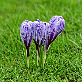 The Croci Rising