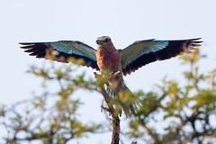 _Q4I4924-Edit (buddy4344) Tags: africa kalahari kgalagadi southafrica lilacbreastedroller