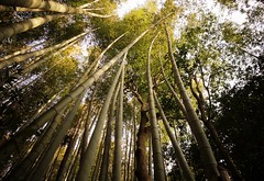 Curved bamboo (philHendley) Tags: bamboo