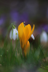 Crocus (Trutnauphotography) Tags: crocus krokus flower nature spring springflower springtime
