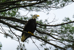 Bald Eagle (Andrew Lincoln Photos) Tags: bald eagle raptor bird