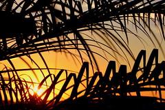 24/6/2016... (tiagoelidio) Tags: 366 366project project366 sunset pordosol folhas leaves sol sun