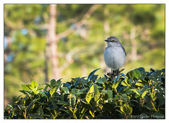 Shakespeare the Mockingbird (GAPHIKER) Tags: shakespeare northernmockingbird northern mockingbird statebird florida texas arkansas tennessee mississippi mimuspolyglottos