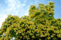 Bouquet Into The Sky (hectic skeptic) Tags: camarillo california spring tress flowering flowers markamorgan