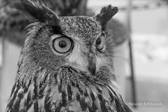 Surprise Owl (Nourah.A.Edhbayah (Super Flower♥إظبيه)) Tags: surprise owl nourah abdullah edhbayah kuwait q8 نورة عبدالله اظبيه بوم بومه bw ابيض اسود