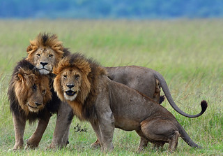 Lucky Lions - Marsh Pride Males - 5801b+