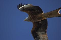 (blindlings848) Tags: rotmilan thermik segeln sturzflug 1m flügelspannweite 400er natur wunderschön power speed atemberaubend blickkontakt wind sonnenlicht gegenlicht wolkenlos blauerhimmel träumen vomfliegen fliegmit